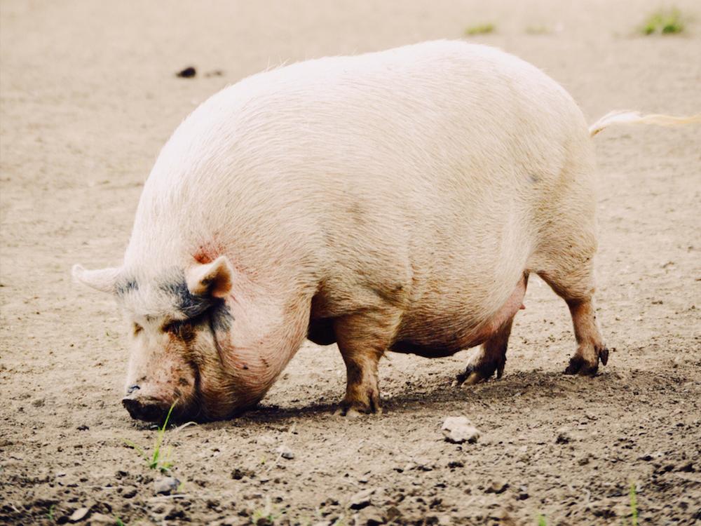 prasiatko, svina zviera, domáce zviera