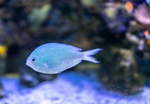 modra ryba