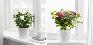 ruža a hydrangea